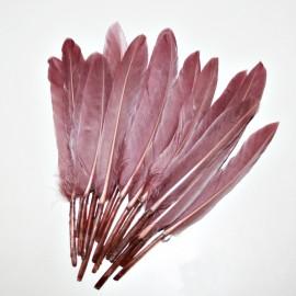 Pluma violacea